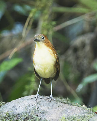 Yellow-breasted Antpitta Poster