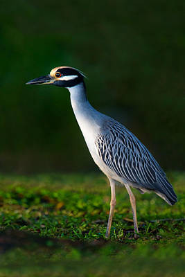 Yellow-crowned Night Heron Nyctanassa Poster by Panoramic Images