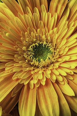 Yellow Daisy Close Up Poster
