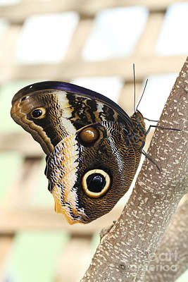 Yellow-edged Giant Owl Butterfly #4 Poster by Judy Whitton