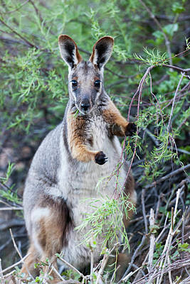 Yellow-footed Rock-wallaby (petrogale Poster by Martin Zwick