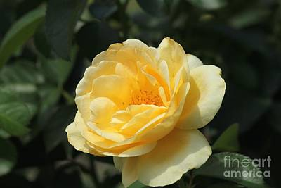 Yellow Rose Poster by Theresa Willingham