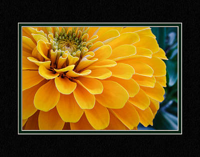 Yellow Zinnia Close-up Poster