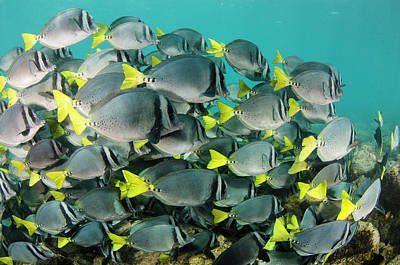 Yellowtail Surgeonfish (prionurus Poster by Pete Oxford