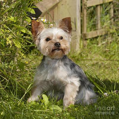 Yorkshire Terrier Dog Poster