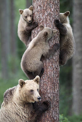 Young Bears Clinging To Tree Poster by John Daniels