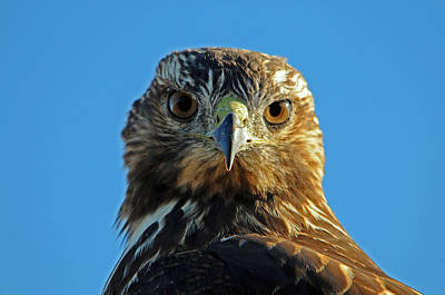 Young Redtail Hawk Part 3 Poster