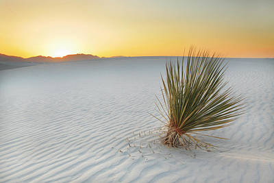 Yucca Plant At White Sands Poster by Alan Vance Ley