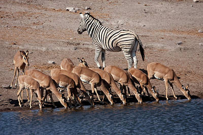 Zebra (equus Quagga Burchellii Poster by Jaynes Gallery