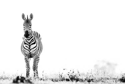 Poster featuring the photograph Zebra Facing Forward Washed Out Sky Bw by Mike Gaudaur
