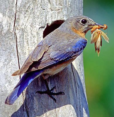 Eastern Bluebird Female Poster