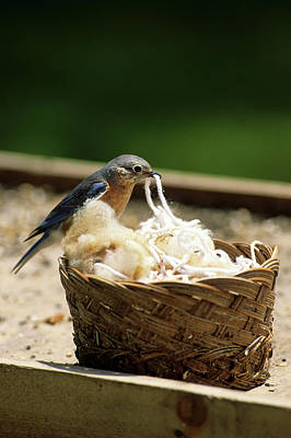 Eastern Bluebird (sialia Sialis Poster