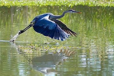 Great Blue Heron Poster by Dan Ferrin