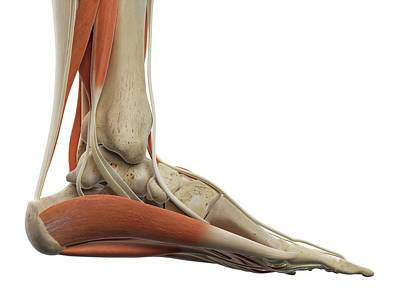 Human Foot Muscles Poster by Sciepro