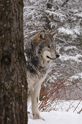 Timber Wolf Poster by Wolves Only
