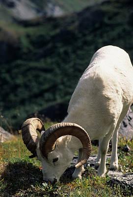 Usa, Alaska, Dall Sheep, Dall Ram Poster