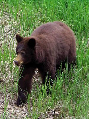 100414 Black Bear Poster