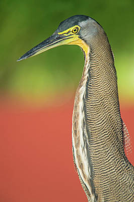 Bare-throated Tiger Heron Tigrisoma Poster