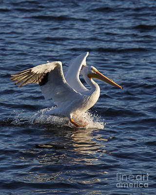 Great White Pelican On The Water Poster