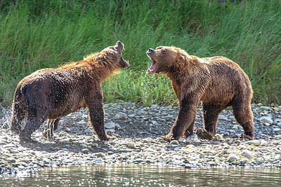 Grizzly Bears Also Called Brown Bears Poster by Tom Norring