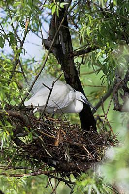 Little Egret (egretta Garzetta Poster by Martin Zwick