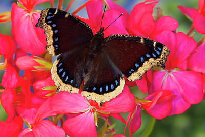 Mourning Cloak Butterfly, Nymphalis Poster by Darrell Gulin