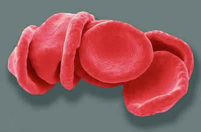Red Blood Cells Poster by Steve Gschmeissner