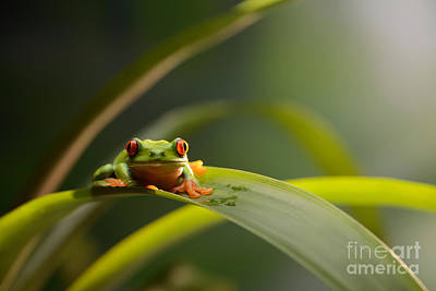 Red Eyed Tree Frog Poster by Scott Linstead