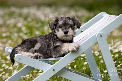 Schnauzer Puppy Dog Poster