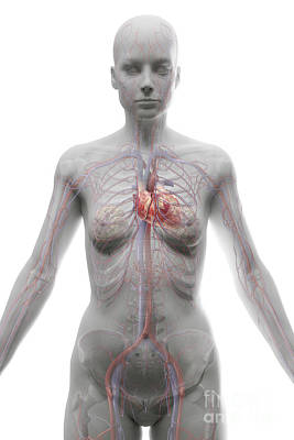 The Cardiovascular System Female Poster by Science Picture Co
