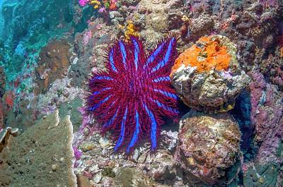 Crown-of-thorns Starfish Poster