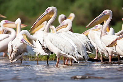 Great White Pelican (pelecanus Poster by Martin Zwick