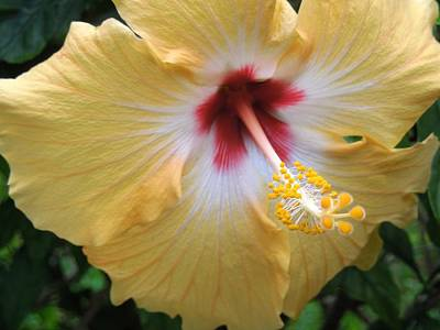 Hibiscus Poster by Ron Davidson