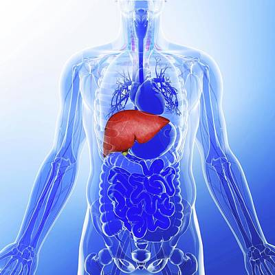 Human Liver Poster by Pixologicstudio