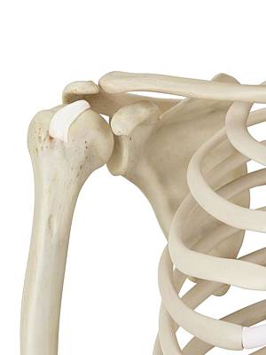 Human Shoulder Joint Poster