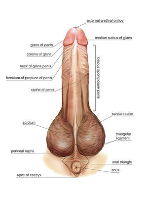 Male Genital System Poster by Asklepios Medical Atlas
