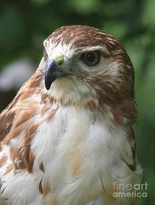 Red-tailed Hawk  Poster by Ken Keener