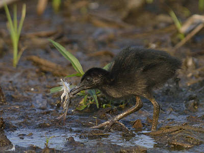 Young King Rail In A Wetland Poster by Mark Wallner