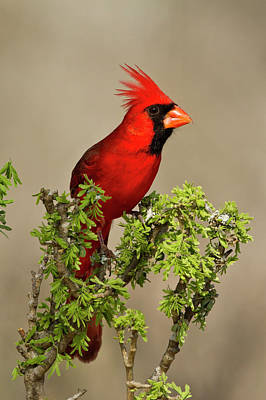 Northern Cardinal (cardinalis Cardinalis Poster by Larry Ditto