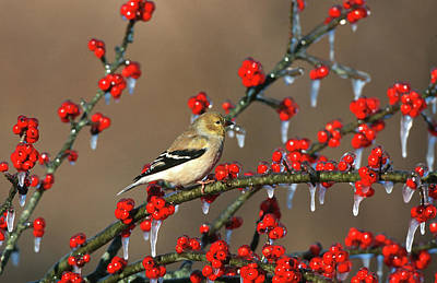 American Goldfinch (carduelis Tristis Poster by Richard and Susan Day