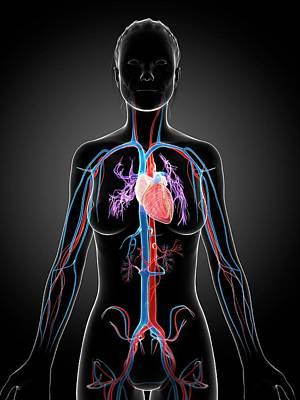 Female Vascular System Poster by Sebastian Kaulitzki