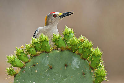 Golden-fronted Woodpecker (melanerpes Poster by Larry Ditto