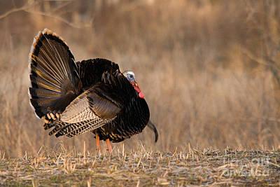 Male Eastern Wild Turkey Poster by Linda Freshwaters Arndt