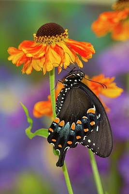 Spicebush Swallowtail Butterfly Poster