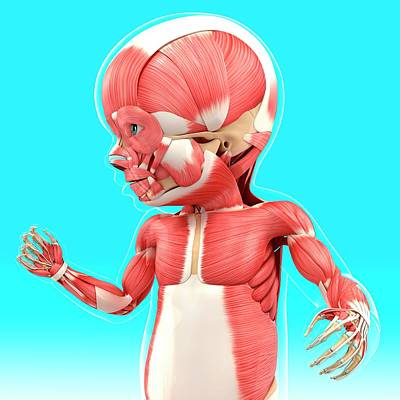 Baby's Muscular System Poster