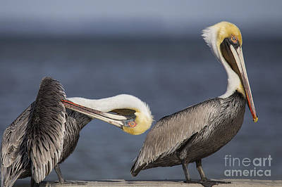 Brown Pelican Poster by Twenty Two North Photography