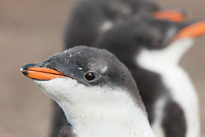 Gentoo Penguin (pygoscelis Papua Poster