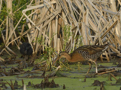 King Rails In A Wetland Poster by Mark Wallner