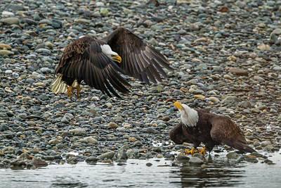 Usa, Alaska, Chilkat Bald Eagle Preserve Poster by Jaynes Gallery
