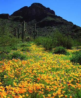 Usa, Arizona, Organ Pipe Cactus Poster by Jaynes Gallery